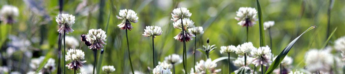 Apilat (Trifolium)